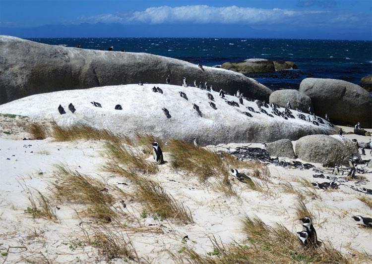 Boulders Beach, Simonstown, Südafrika © Andrea David