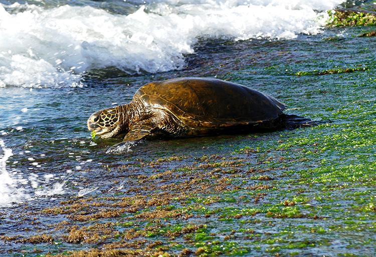 Meeresschildkröte am North Shore, O'ahu