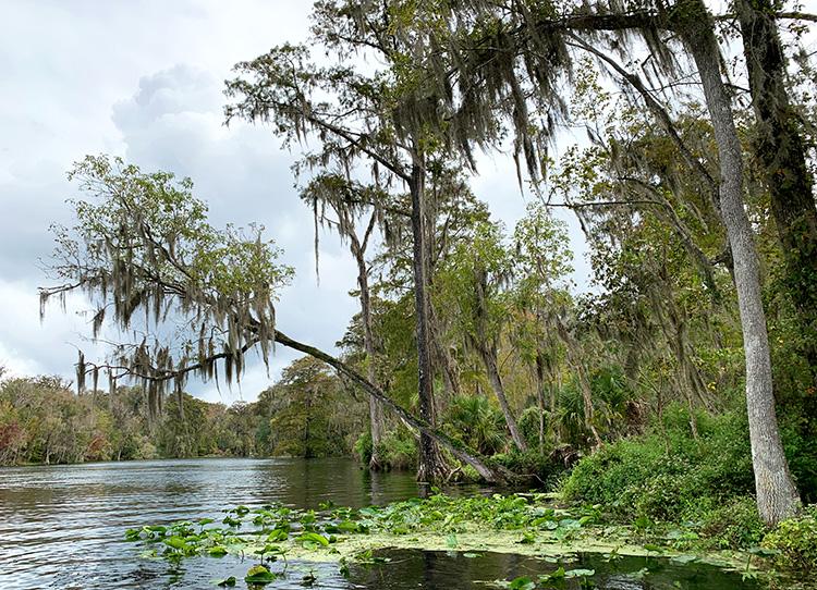 Tarzan Tree im Silver Springs State Park, Florida